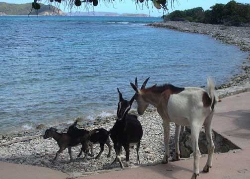 Some of St John's 'other' locals visit the beach!