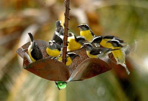 Bananaquit Birds